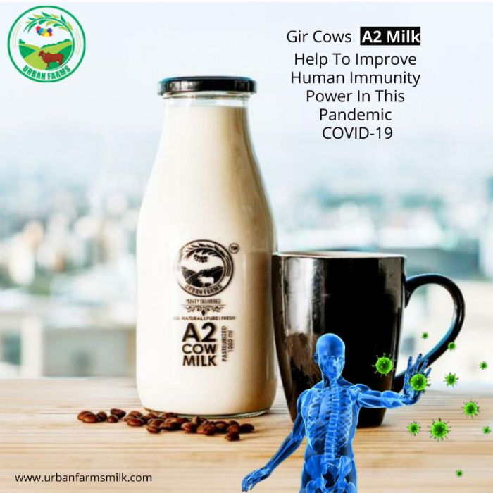 Urbanfarmsmilk Provide Gir Cows A2 Milk in Pune Help To Improve Human Immunity Power In This Pandemic COVID-19